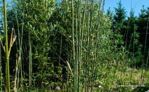 Bambushaven nær Herning
