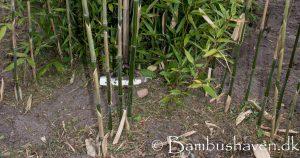 Bambus haven ved Karstoft Herning